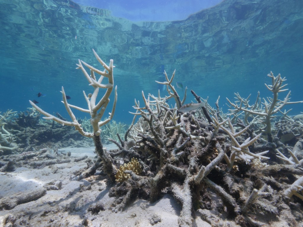 great barrier reef coral bleaching wwf